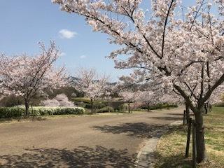 公園桜1.jpg
