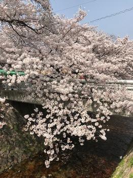 ご近所桜.jpg