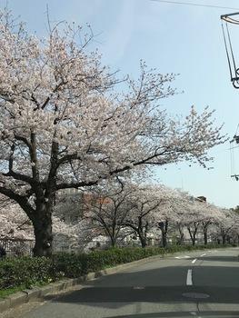 ご近所桜2.jpg