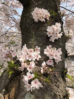 ご近所桜1.jpg